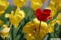 tulipani_3.jpg